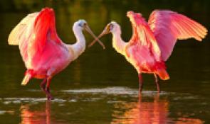 Lovebirds at Eagle Expo Cajun Coast