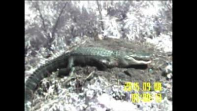 Embedded thumbnail for Cayenne Gator: Nest Maintenance